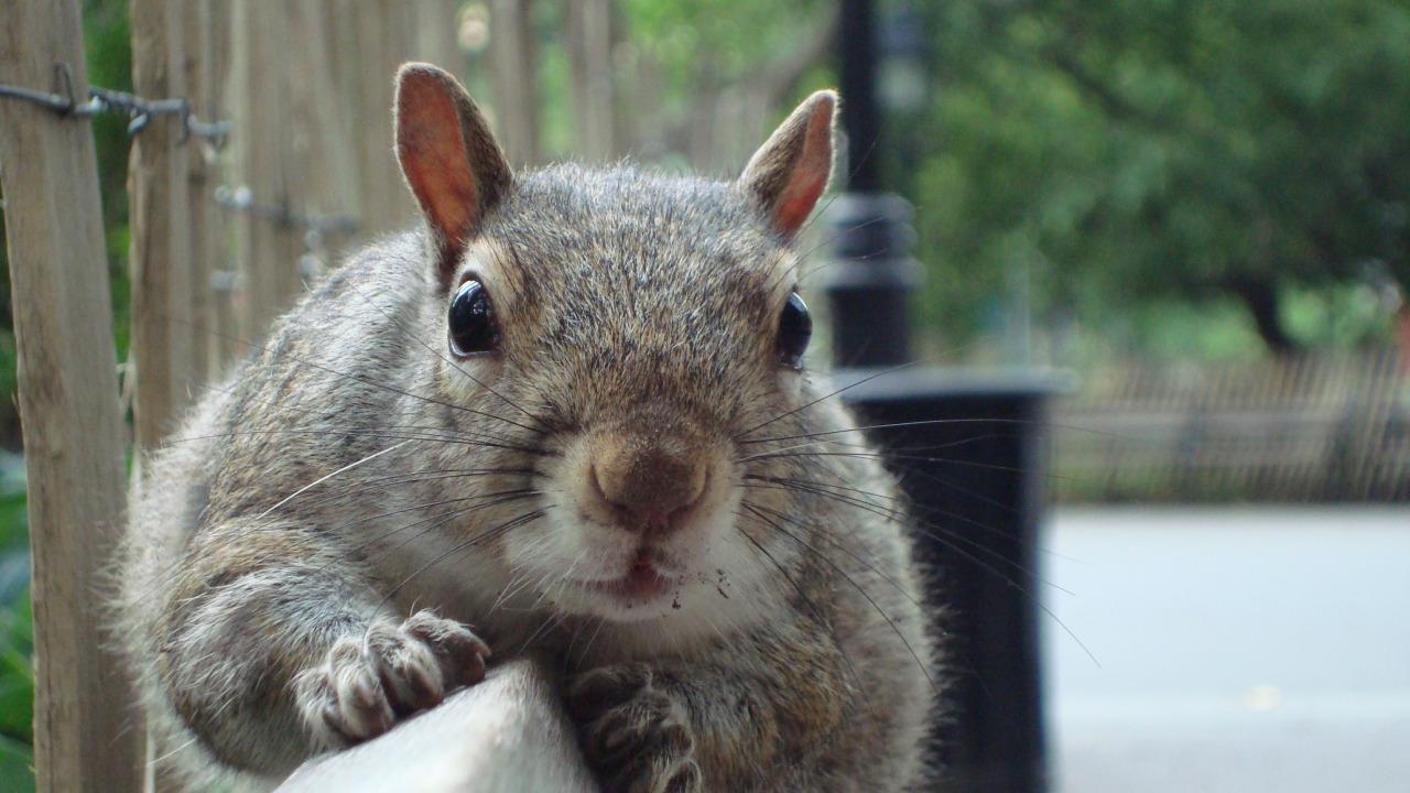 5 Tage in New York - Eichhörnchen